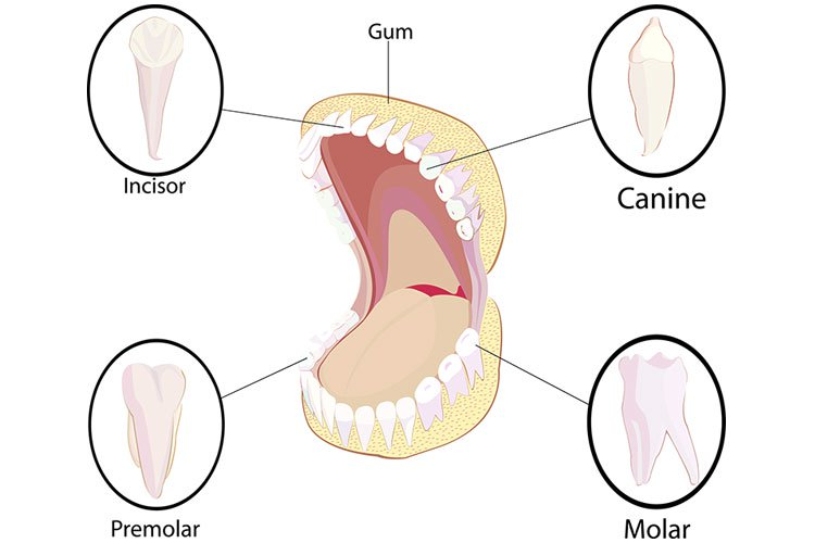 what are the types of teeth in my mouth. Black Bedroom Furniture Sets. Home Design Ideas